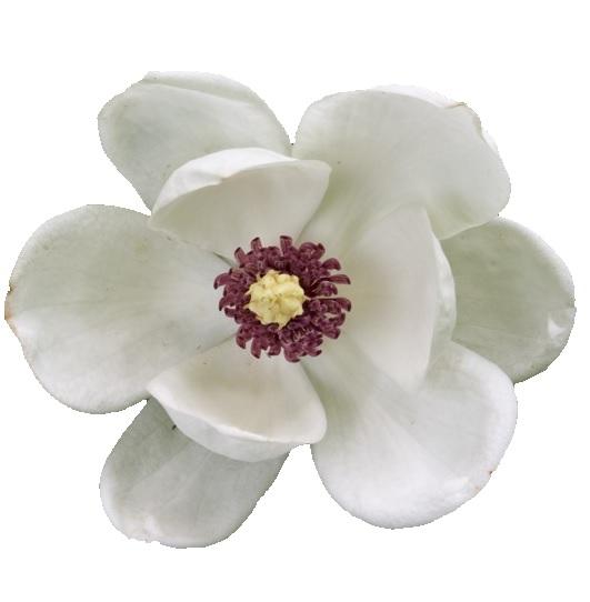 magnolia wines